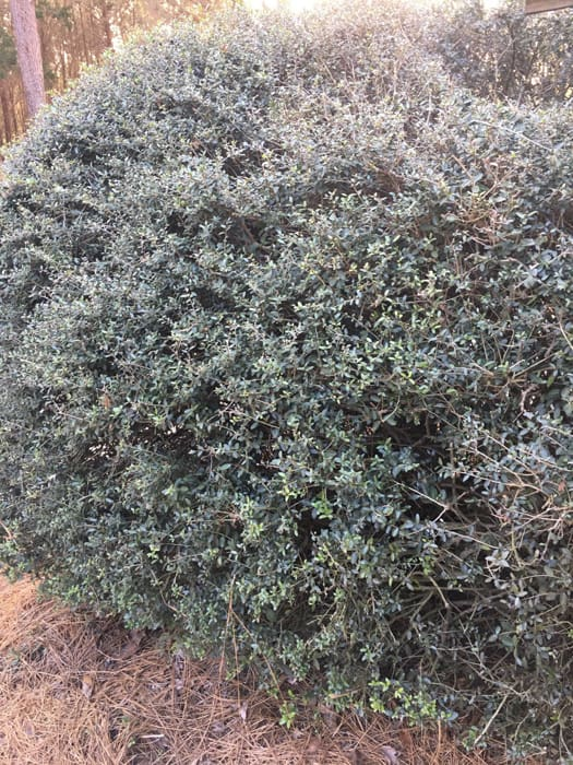 Schellings Dwarf Holly