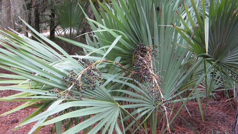 Blue Stem Palmetto